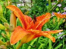 Macro van rode, oranje bloem met stuifmeel op helmknop Stock Afbeeldingen