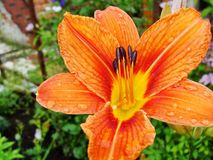 Macro van rode, oranje bloem met stuifmeel op helmknop Stock Afbeelding