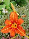Macro van rode, oranje bloem met stuifmeel op helmknop Stock Fotografie