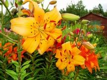 Macro van rode, oranje bloem met stuifmeel op helmknop Royalty-vrije Stock Foto's
