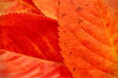 Macro van rode oranje de herfstbladeren royalty-vrije stock foto's