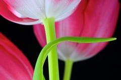 Macro Rode Tulpen 3 Stock Foto's