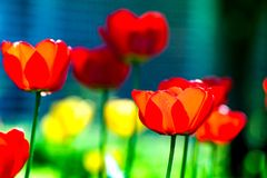 Macro van rode tulpen in de tuin op kleurrijke achtergrond in het midden van een tuin op de lente wordt geschoten die Royalty-vrije Stock Afbeeldingen