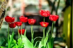 Macro van rode tulpen in de tuin op kleurrijke achtergrond in het midden van een tuin op de lente wordt geschoten die Stock Fotografie
