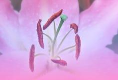 Macro van roze leliebloem Stock Afbeelding