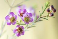 Macro van roze waxflower Royalty-vrije Stock Fotografie