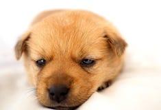 Macro van slaperig puppy op wit bed Stock Afbeelding