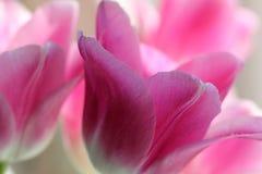 Macro van Tulip Flowers stock afbeeldingen