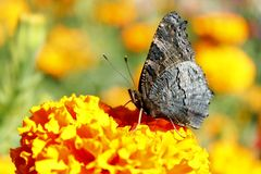 Macro van vlinder die nectar op de goudsbloemen verzamelen Royalty-vrije Stock Fotografie
