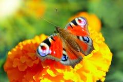 Macro van vlinder die nectar op de goudsbloemen verzamelen Royalty-vrije Stock Foto's