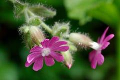 Macro van wilde bloem wordt geschoten die Royalty-vrije Stock Afbeeldingen