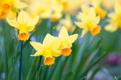 Macro van wilde gele narcissen Stock Foto