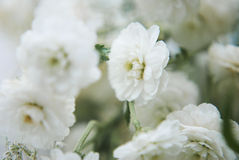 Macro van witte gypsophilabloemen die wordt geschoten stock afbeeldingen