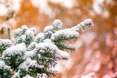 Macro van witte sneeuw bovenop donkergroene jeneverbessentak op bruine en gouden achtergrond tijdens zonsondergang wordt geschote Royalty-vrije Stock Foto's