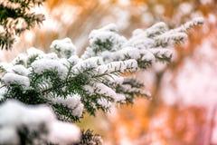 Macro van witte sneeuw bovenop donkergroene jeneverbessentak op bruine en gouden achtergrond tijdens zonsondergang wordt geschote Stock Afbeeldingen