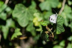 Macro van witte vlinder wordt geschoten die op groen blad rusten dat royalty-vrije stock foto