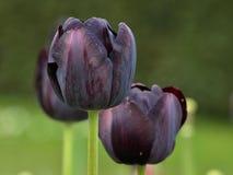 Macro van zeldzame en mooie zwarte tulpen royalty-vrije stock afbeelding