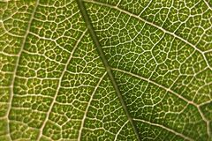 Macro of Veins in Leaf Stock Photography