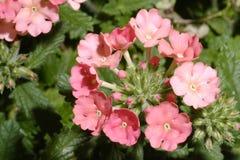 Macro Verbena Blossom. Macro shot of a pastel pink verbena blossom Royalty Free Stock Photo