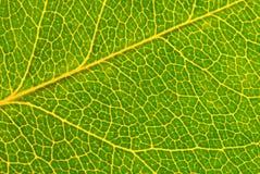 Macro verde da folha Imagens de Stock Royalty Free