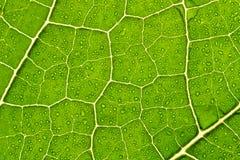 Macro verde da folha Imagens de Stock