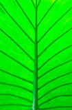 Macro verde da folha Fotos de Stock Royalty Free