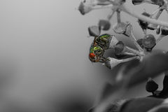 Macro verde da mosca Fotografia de Stock