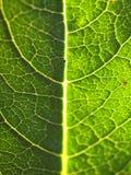 Macro verde de la hoja Imagen de archivo libre de regalías