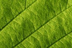 Macro verde de la hoja Imagenes de archivo