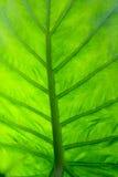 Macro verde de la hoja Foto de archivo libre de regalías