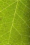 Macro verde de la hoja Foto de archivo