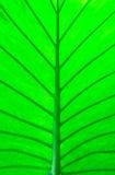 Macro verde de la hoja Fotos de archivo libres de regalías