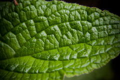 Macro verde de la licencia Fotos de archivo