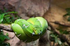 Macro verde de Morelia Viridis do pitão da árvore Imagem de Stock