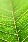 Macro verde del foglio Immagini Stock