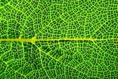 Macro verde del foglio Chiuda su della vena fotografia stock