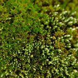 Macro verde del muschio Fotografia Stock