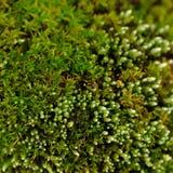 Macro verde del musgo Foto de archivo