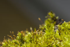 Macro verde del musgo con el fondo del bokeh, foco selectivo Fotografía de archivo