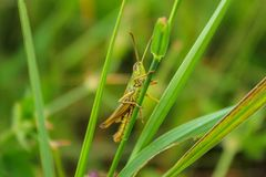 Macro verde del primer del saltamontes todavía que se sienta en hierba foto de archivo libre de regalías
