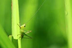 Macro verde della cavalletta immagini stock