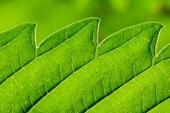 Macro verde della foglia Fotografie Stock Libere da Diritti