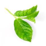 Macro verde della menta immagine stock