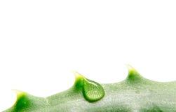 Macro verde della pianta dell'aloe con una goccia della fine dell'acqua su isolata su un fondo bianco Immagine Stock Libera da Diritti