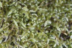 Macro verde do musgo Imagens de Stock