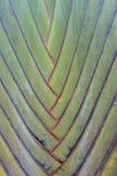 Macro verde tropical del fondo de la palmera imágenes de archivo libres de regalías