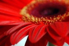 Macro vermelho da flor da margarida Imagens de Stock Royalty Free