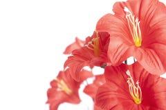 Macro vermelho da flor sobre o fundo branco Imagens de Stock Royalty Free