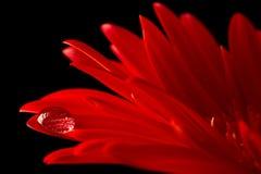 Macro vermelho da margarida com gota de água fotografia de stock