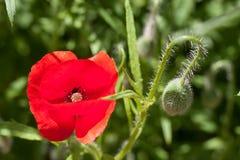 Macro vermelho do close-up da flor da papoila como o fundo Foto de Stock